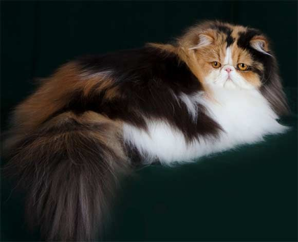 Persian cat 3 colors