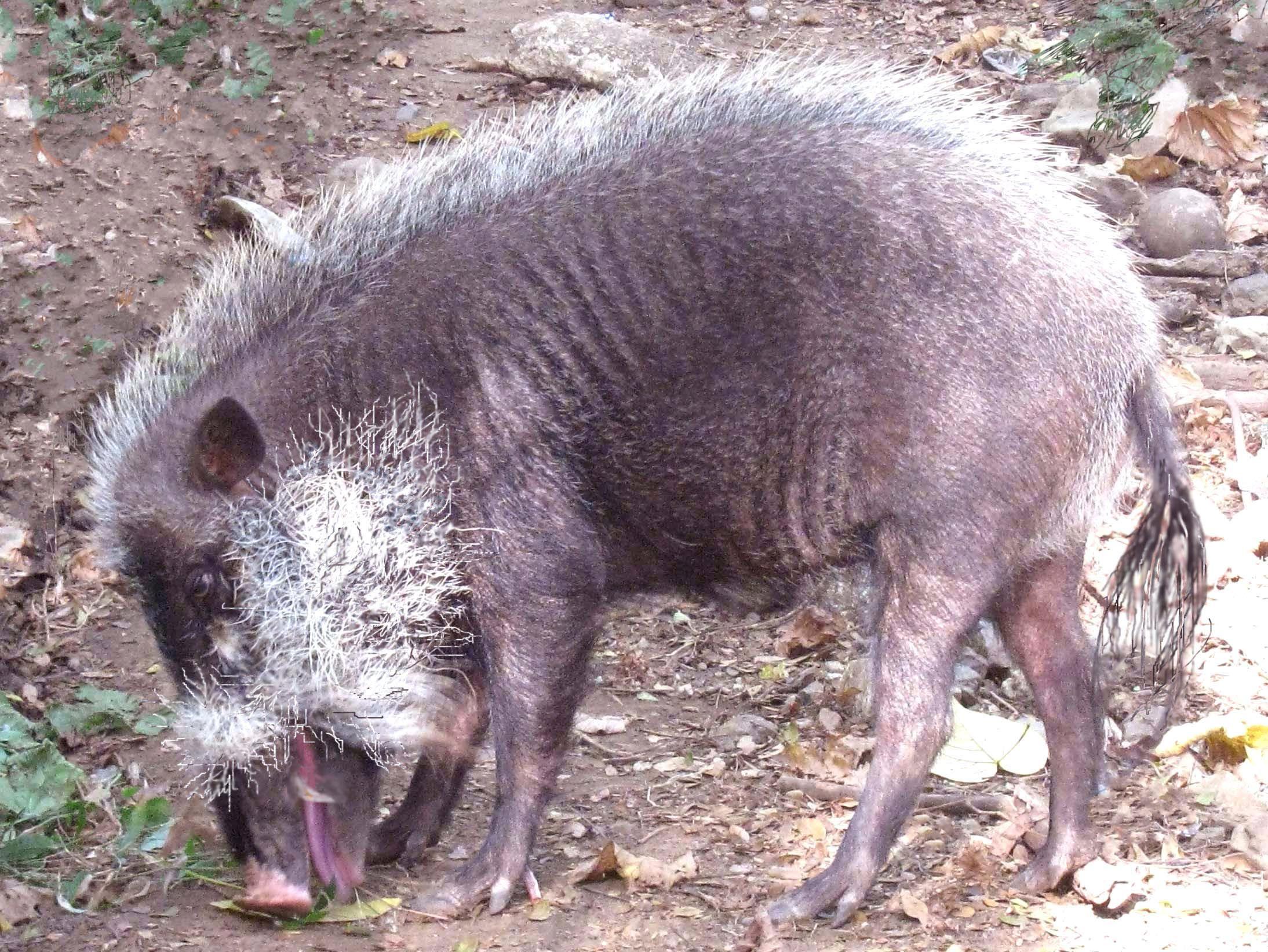 Palawan Bearded Pig ( Sus ahoenobarbus) Huet 1888 Local