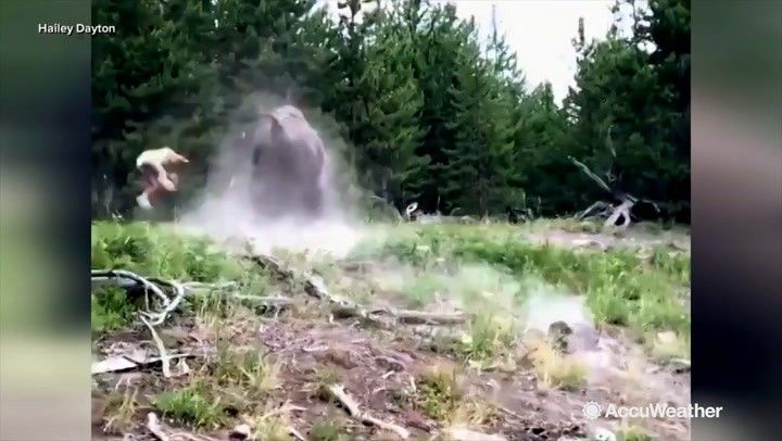 A terrifying moment as a wild bison charged at a young