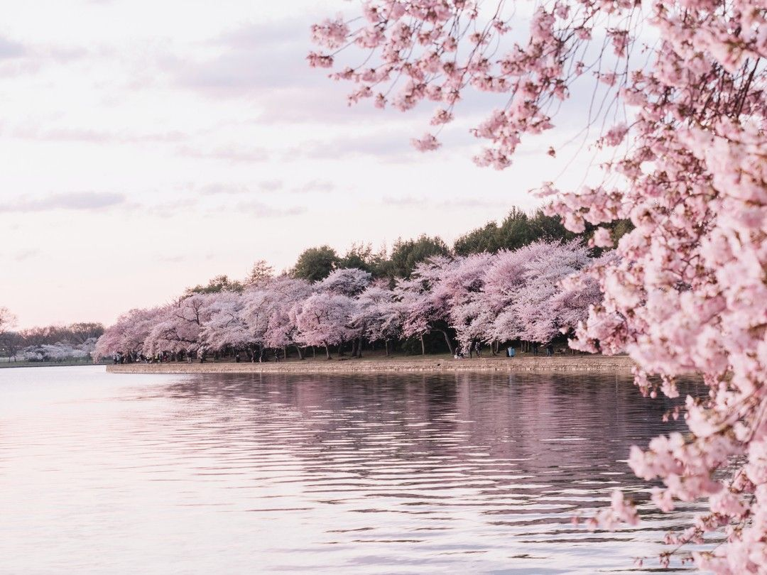 How Beautiful Is This Shore Line Decorated With Cherry Blossoms The Perfect Backdrop For A Photo Shoo Blossom Trees Cherry Blossom Meaning Cherry Blossom Tree