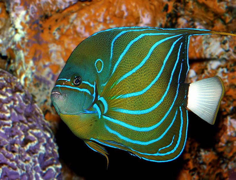 Bluering Angelfish - Pomacanthus annularis
