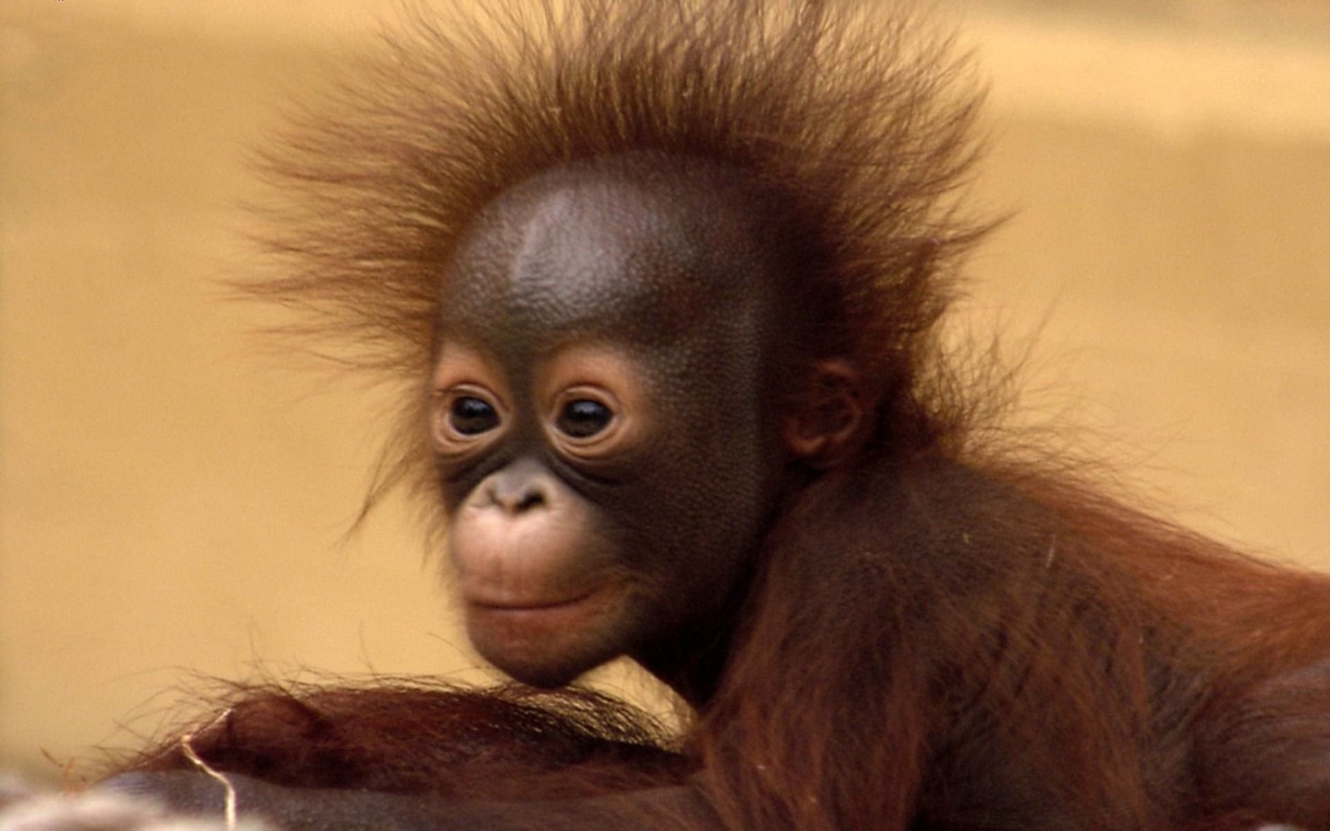 Baby Orangutans Baby Orangutan Cute Photoshd Wallpapersimages