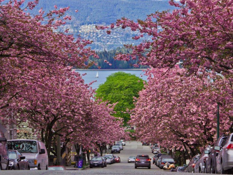 Where To See Cherry Blossoms In The U S Besides D C Cherry Blossom Festival Cherry Blossom Season Cherry Blossom