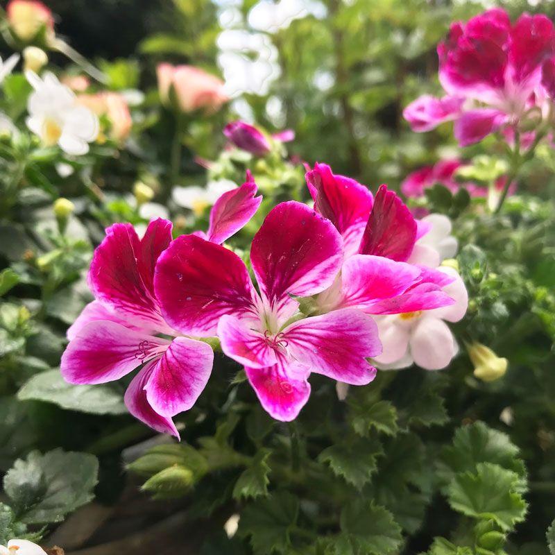 Geranien Flowers Plants Floral