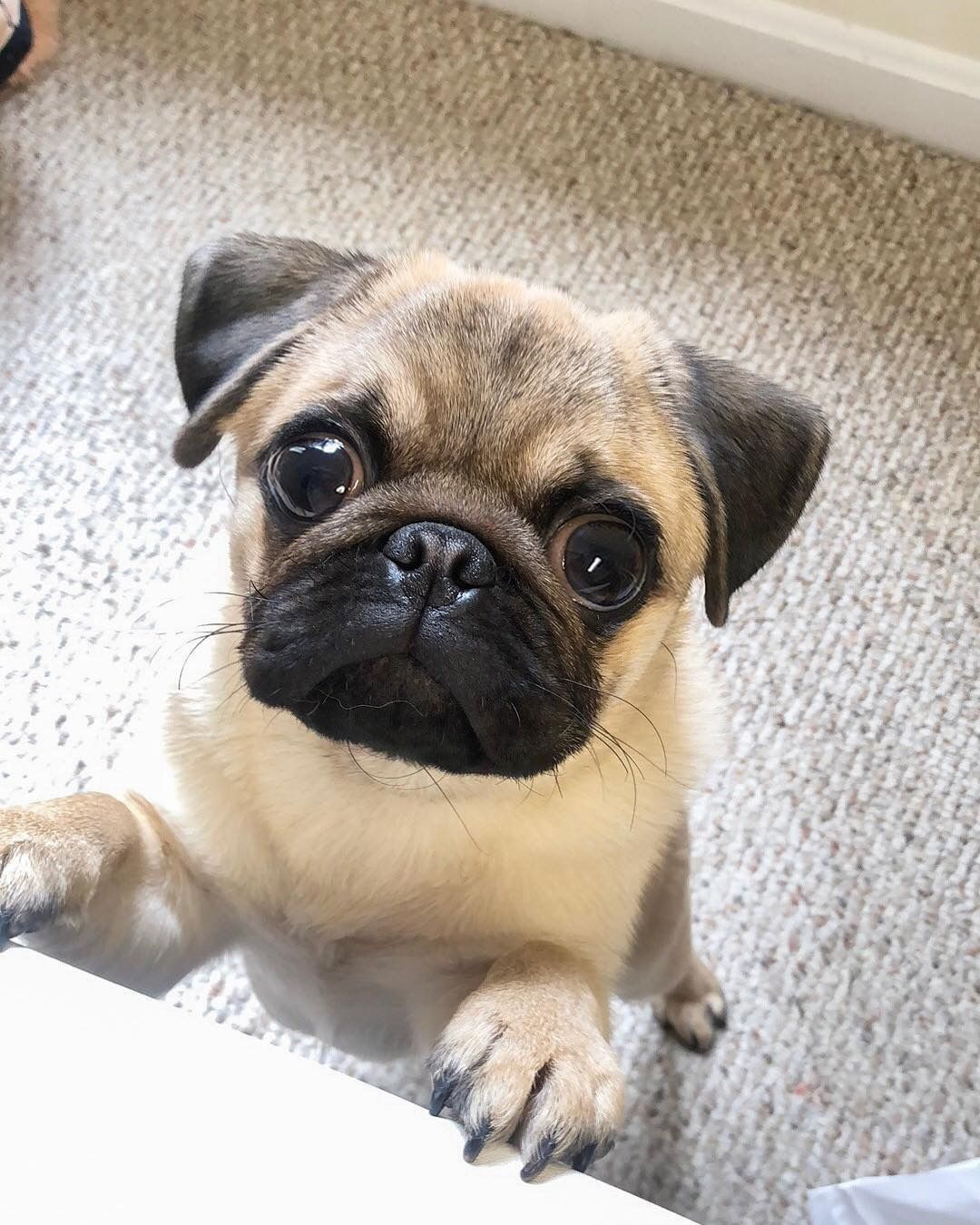 Pin By Julia M Foster On Pugs Cute Pug Puppies Cute Pugs Baby Pugs