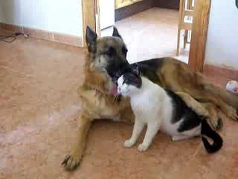 German Shepherd Dog Cat In Love German Shepherd Dogs German
