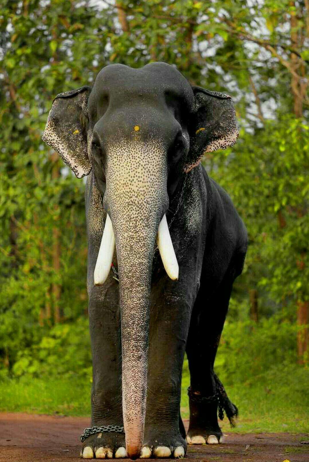 മഗലകനന കർണണൻ Elephant