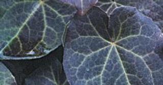 Epimedium pinnatum 'Black Sea'