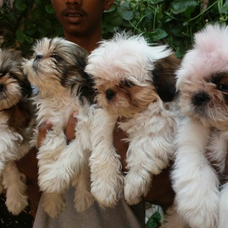 Shih Tzu Puppies Is A Small Breed That Suitable For Smaller Indoor