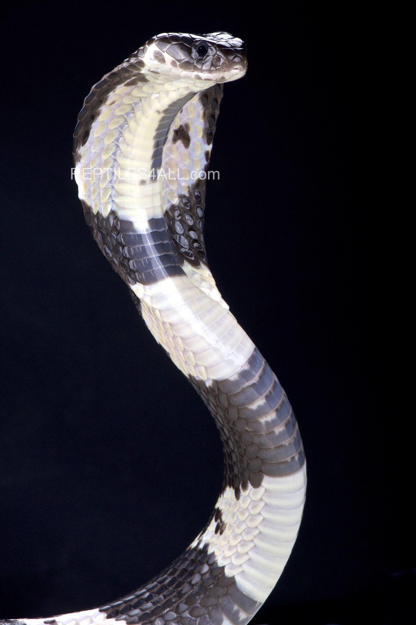 Black And White Spitting Cobra Pet Snake Cobra Snake Deadly Animals