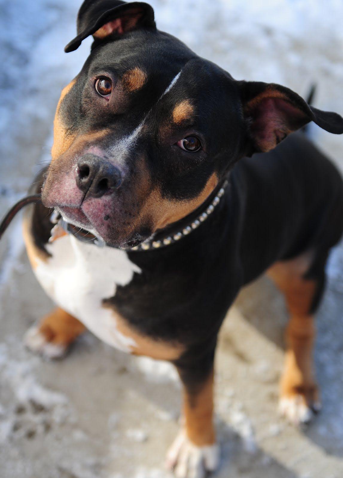 Pittwieler Rottweiler Mix Rottweiler Puppies Pitbull Dog