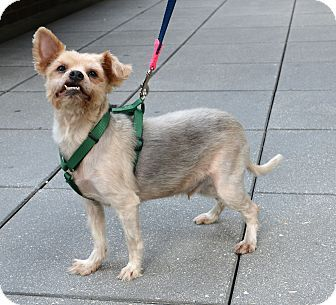 Gareth is an adorable Yorkie Mix at the Humane Society of New York.