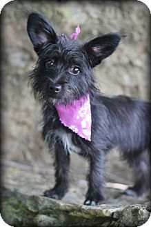 Tootsie Dalton Ga Cairn Terrier Scottie Scottish Terrier Mix