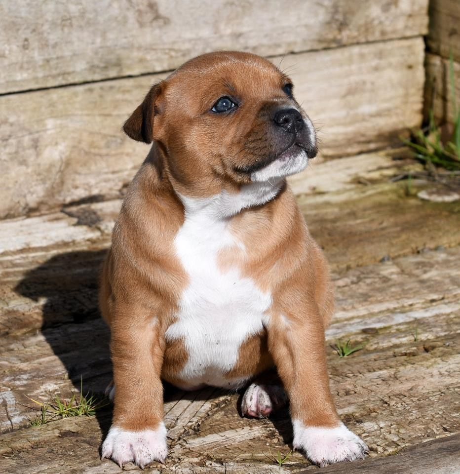 Pin by Soverenstaff Staffordshire Bull Terriers on