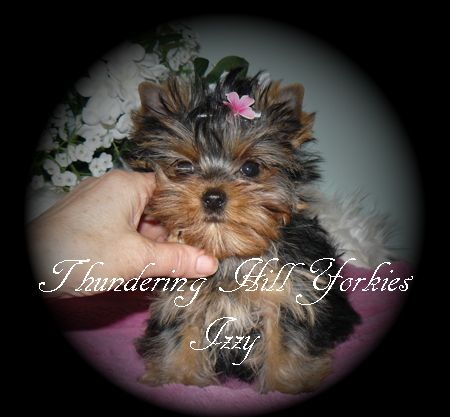 Yorkie Puppies For Sale B C Canada Teacup Yorkies For Sale Yorkie Puppy For Sale Yorkie Puppy Puppies For Sale