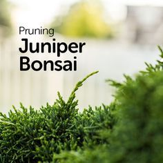 Pruning Juniper Bonsai for Beginners - Basic Bonsai #bonsaiplants
