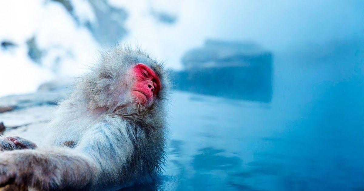 معلومات مثيرة للإهتمام حول القرد الثلجي مكاك ياباني Animals