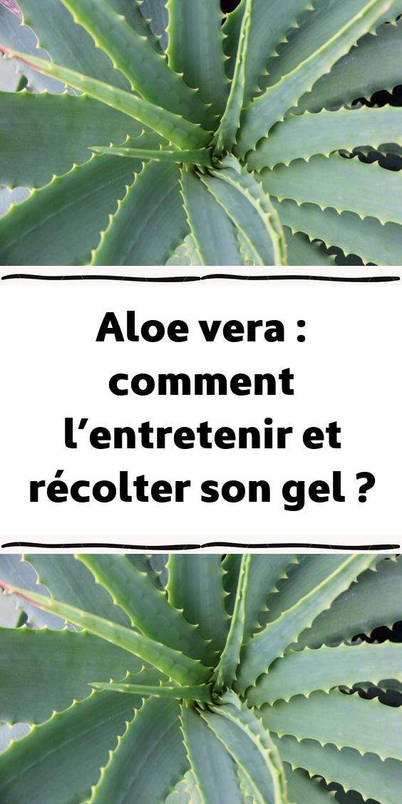 Aloe Vera Comment L Entretenir Et Recolter Son Gel Plante Succulente Aloe Vera Trucs Et Astuces Jardinage