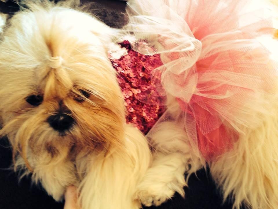Teacup havanese puppies for sale in texas