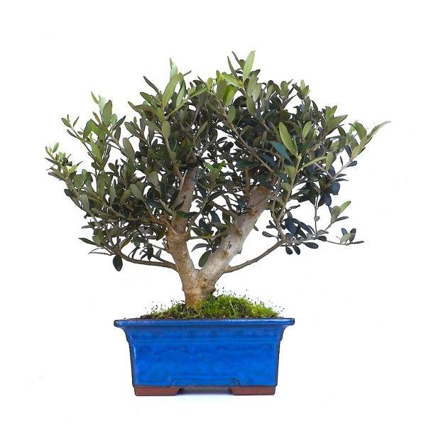 acheter un bonsa olivier europ en 45 cm 140901 sankaly bonsa sp cialiste du bonsai en ligne. Black Bedroom Furniture Sets. Home Design Ideas
