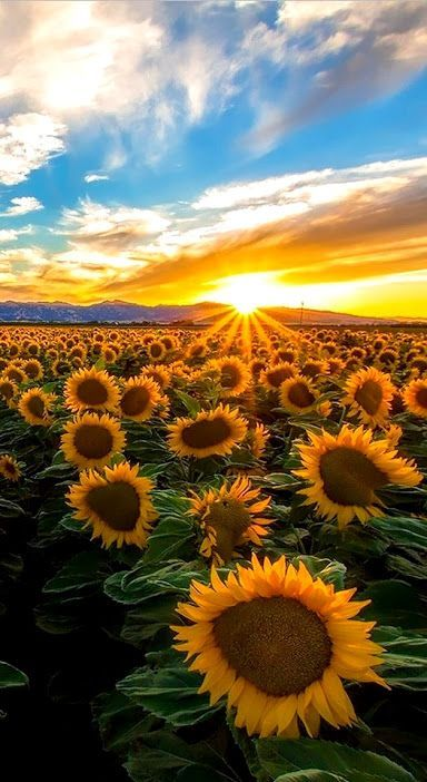 Painting Sunflower Field Landscapes 68 Ideas For 2019