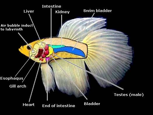 betta fish anatomy | Aquarium | Pinterest | Fish anatomy, Betta and ...