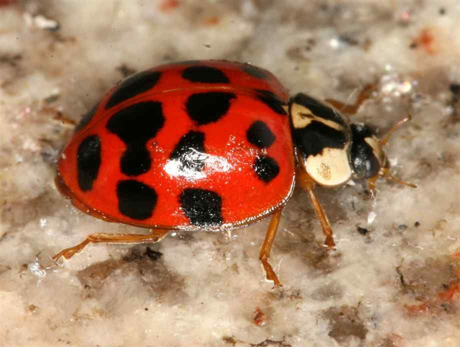 Animal. images of ladybugs   Close up pictures of ladybugs  specifically