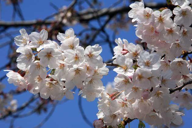 Aoi Midori Ryusaki Bunga Sakura Bunga Sakura