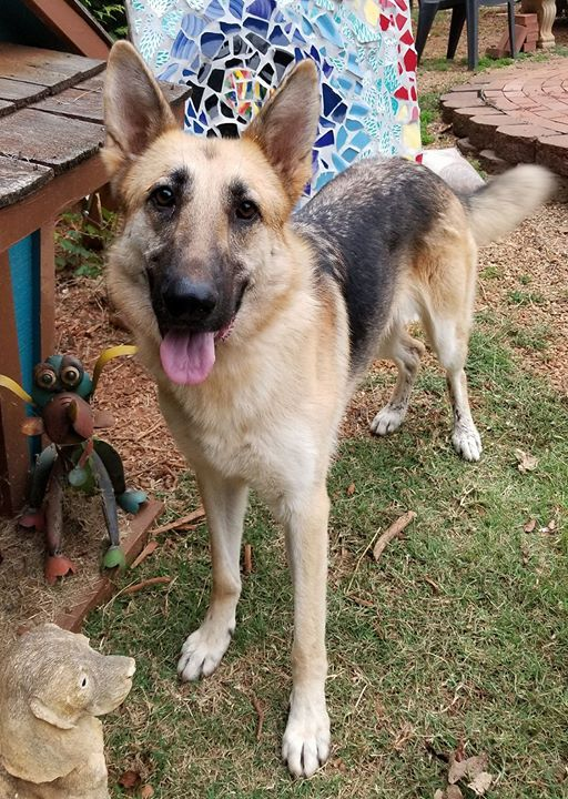 German Shepherd Dog dog for Adoption in Greenville, SC