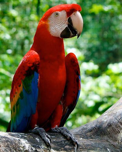 Red Parrot Parrot Pet Birds Macaw
