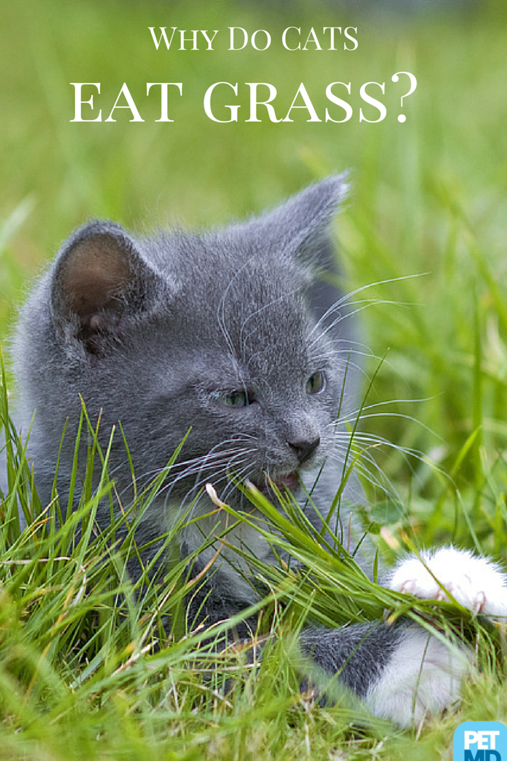 Why Do Cats Eat Grass? Pets, Cats, Cat care