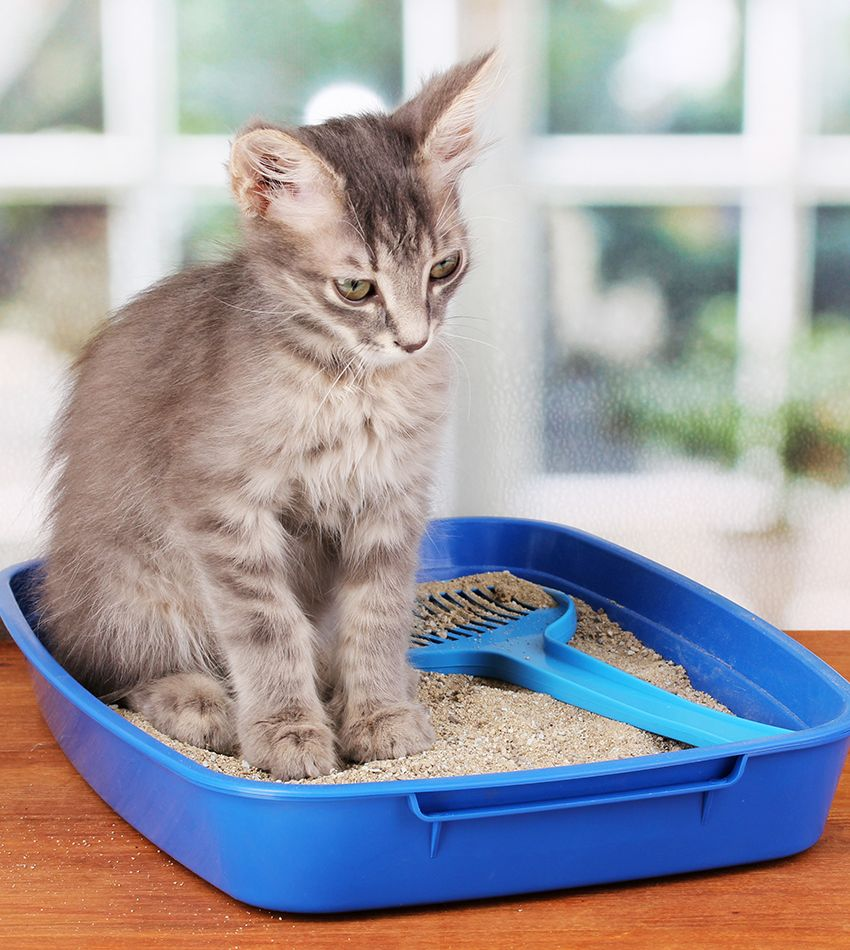 Cat Toilet Training Complete Guide To Potty Train A Kitten In 2020 Training A Kitten Cat Toilet Training Cat Toilet