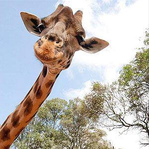 Quando todos os seus amigos viraram girafas no Facebook.   http://uoltecnologia.blogosfera.uol.com.br/2013/10/29/desafio-no-facebook-faz-usuarios-trocarem-suas-fotos-por-imagem-de-girafa/