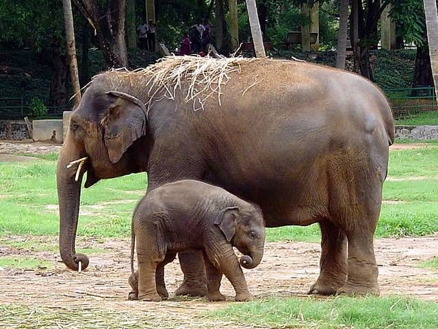 Mysore Zoo Is One Of The City S Most Popular Attractions Elephant Images Indian Elephant Mysore Zoo