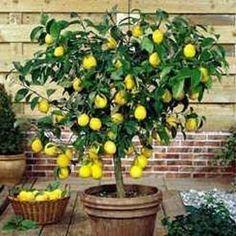 citronnier en pot faire pousser partir d 39 un simple. Black Bedroom Furniture Sets. Home Design Ideas