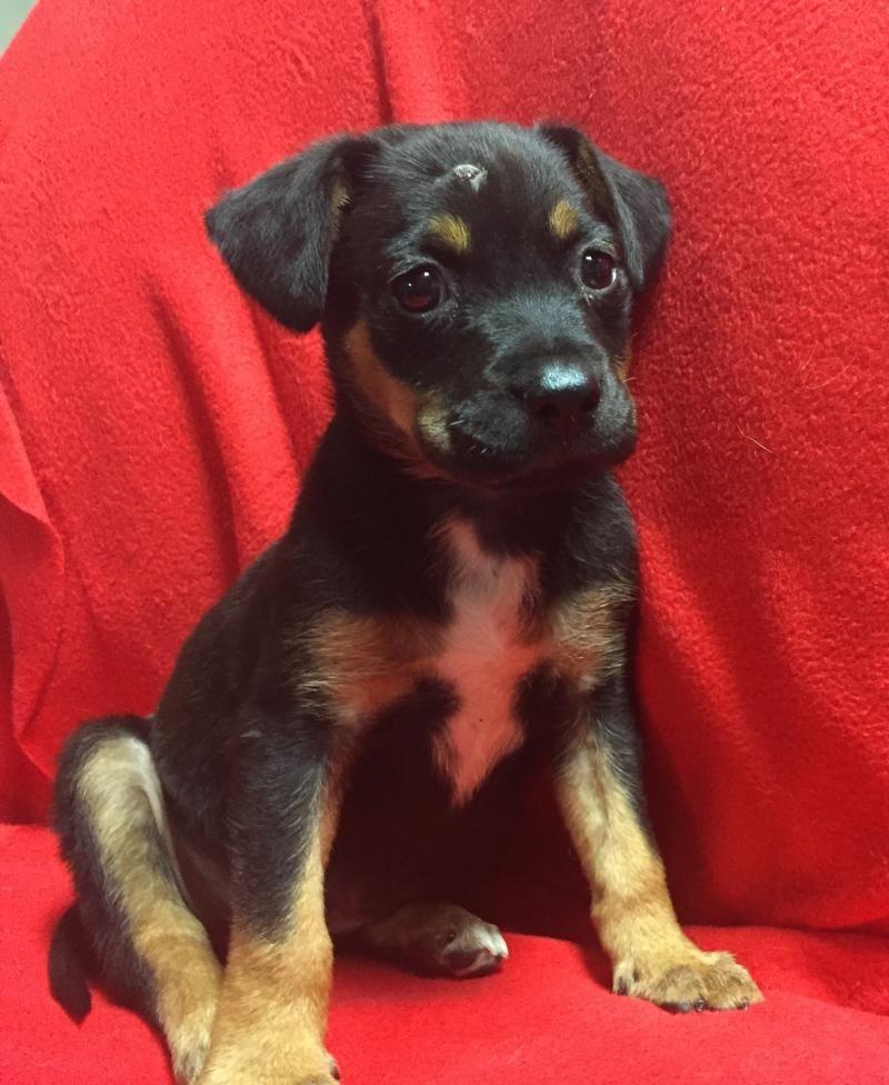 Adopt Lanie On Labrador Retriever Mix Rottweiler Dogs