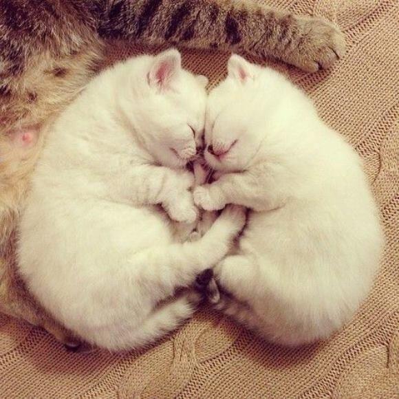 White Fluff かわいい子猫 可愛すぎる動物 猫の愛