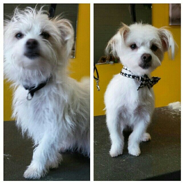 Tucker Before And After Grooming Maltese X Jack Russell Terrier
