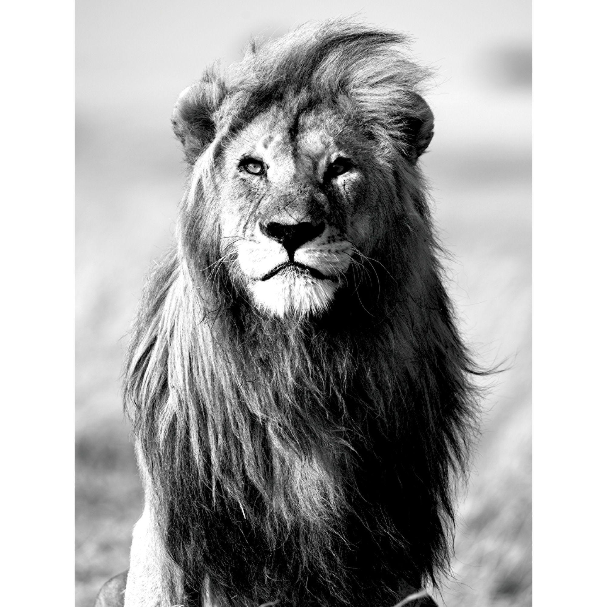 affiche lion en noir et blanc 60x80cm noir blanc majesty. Black Bedroom Furniture Sets. Home Design Ideas