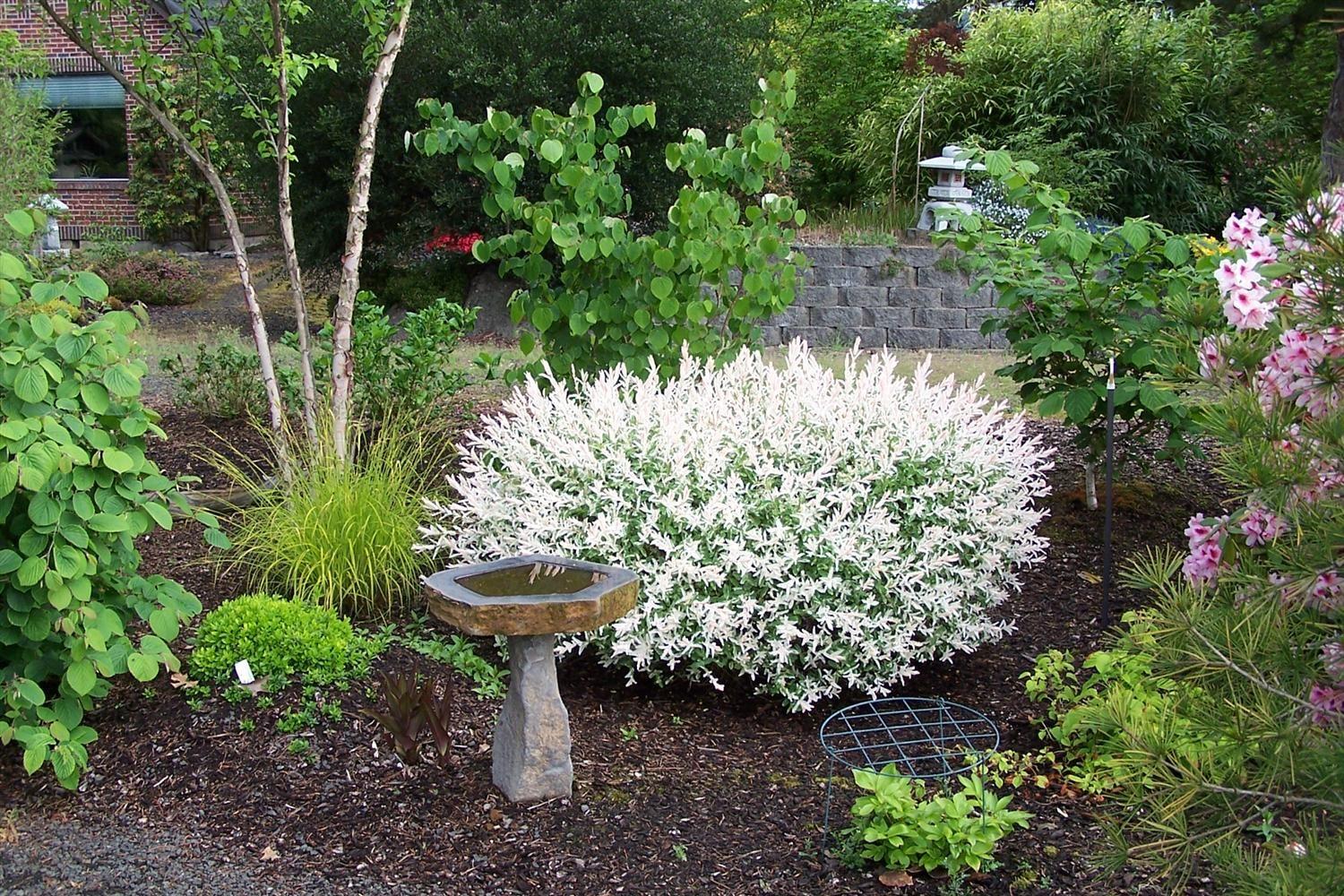 Dwarf Japanese Variegated Willow Shrub In Pots Google Search Plants Spring Landscaping Rock Garden Plants