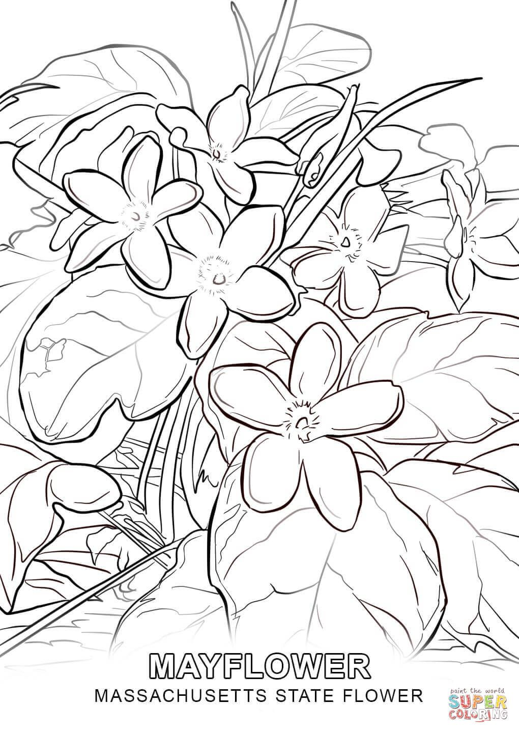 Massachusetts State Flower coloring page | Free Printable Coloring ...