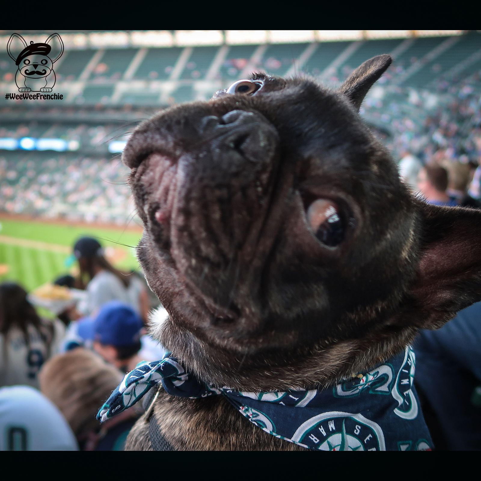 Phoenix French Bulldog Attended The Mariners Baseball Game At