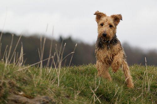 Mick Welsh Terrier Cross Lakeland Jack Russell Were Getting
