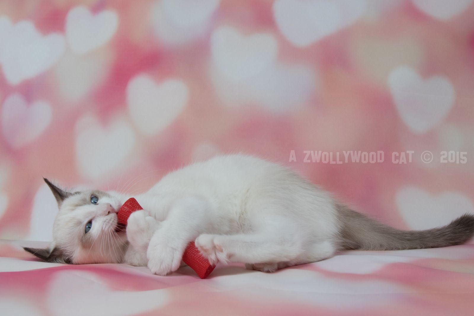 2015 Heimdall A Zwollywood Cat 12 Weeks Old Ragdoll Kitten Chocolate Bicolour Dark World Litter