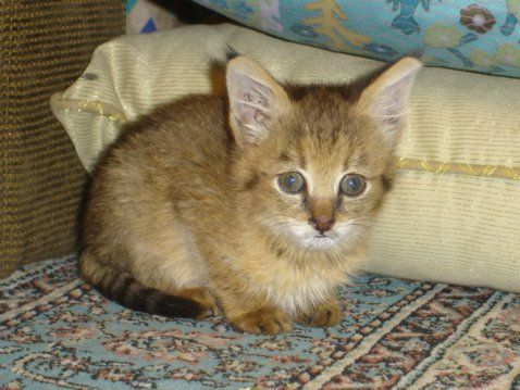 Jungle Cat Kitten Usual Litter Size 3 Kittens Maximum Litter Size 5 Kittens Months Kittens Are Born In Between December And June Age When They Animais