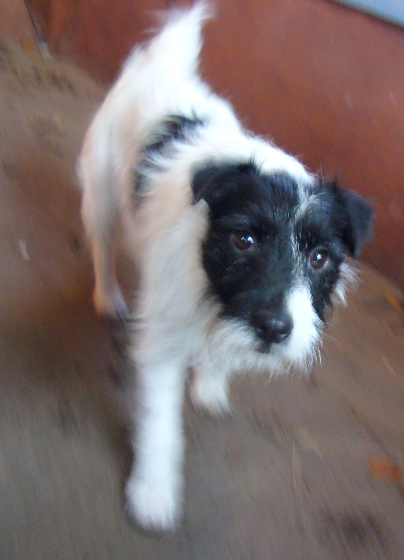Our Adorable Jack Russell Patterdale Cross Brock He Is Three