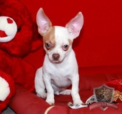 Happy The Male Chihuahua Tennessee Chihuahua Breeders