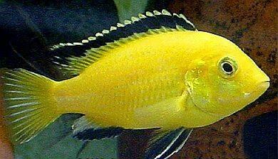 Labidochromis Caeruleus Electric Yellow Cichlid Electric Yellow Ciclid Cichlids African Cichlid Aquarium Cichlid Fish