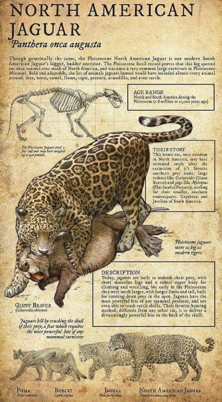 Nice North American Jaguar