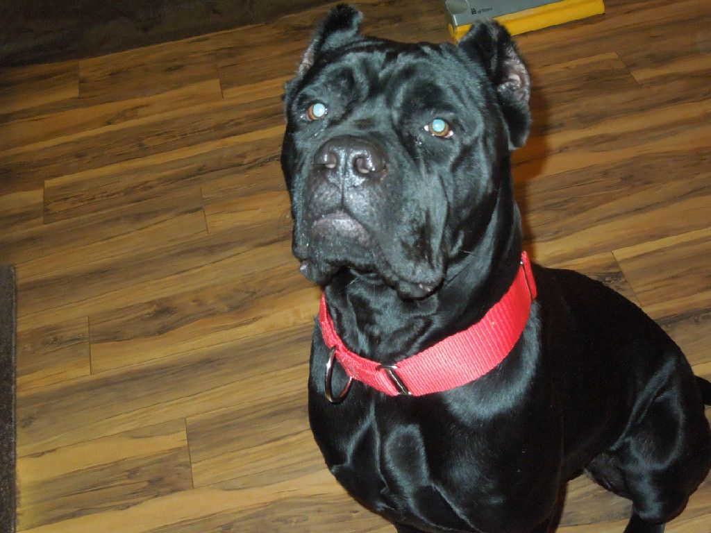 Sophie Is A 1 Year Old Cane Corso Who Loves To Play Fetch She Is